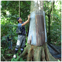 Helson installing a zinc around the tree to deter the continued predation of Oriental Pied hornbill chicks by monitor lizards
