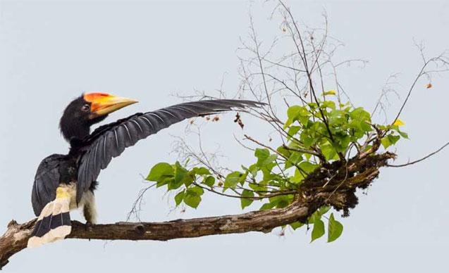 gaia-hornbills-news-4